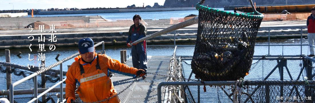東北の里山里海はうつくしい 田老川に溯上した鮭