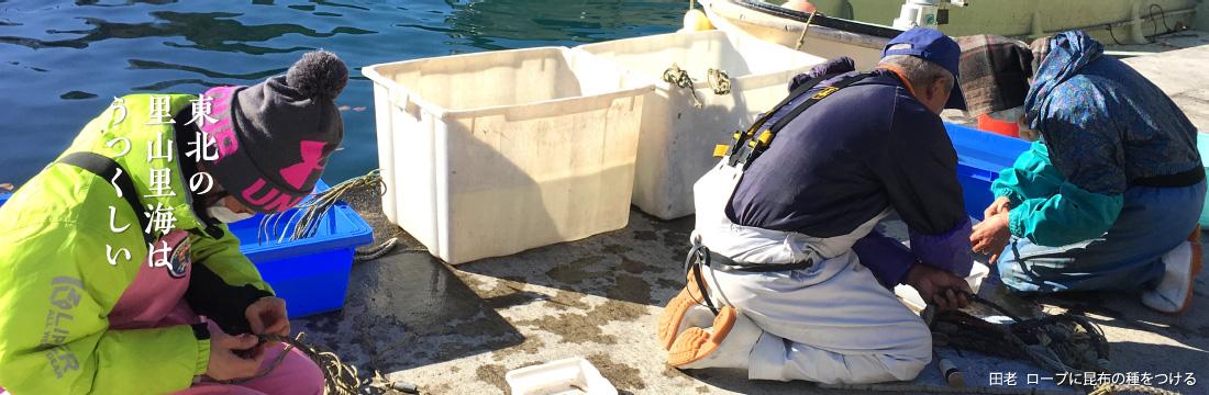 東北の里山里海はうつくしい 田老 ロープに昆布の種をつける