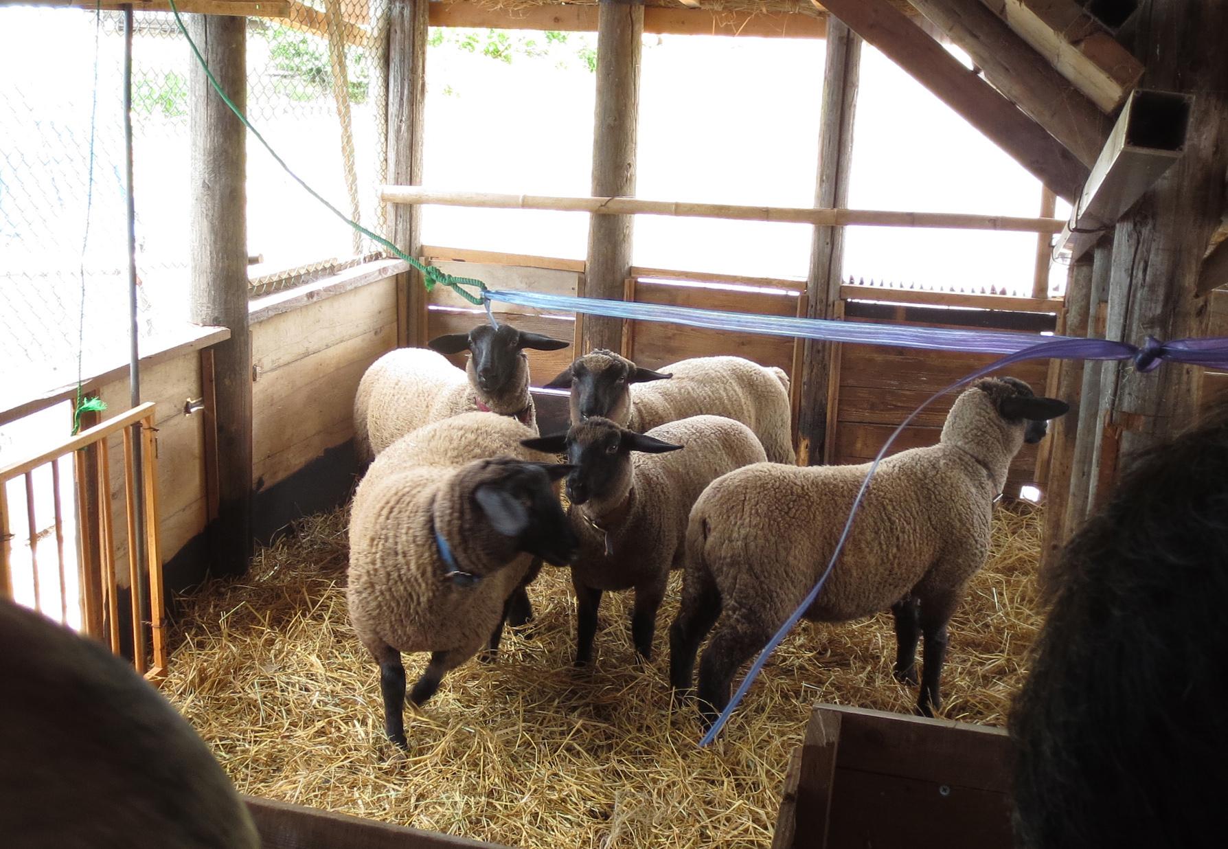 120606_sheep2